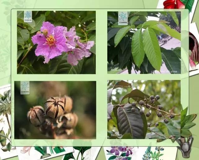 100种常见园林植物图鉴-20160523_183224_023.jpg