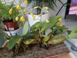 四大观赏洋花之一的石斛,了解一下!