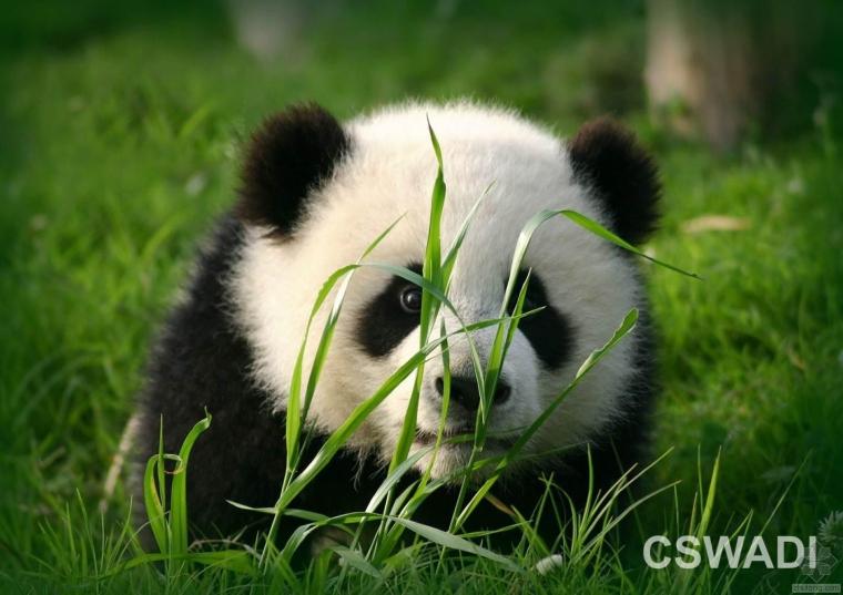 首个最接地气的绿色建筑设计——熊猫医院