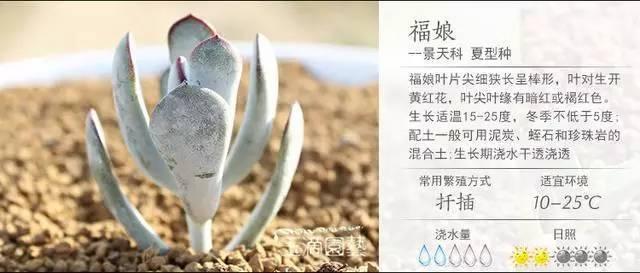 一入肉界深似海,100种常见多肉植物养护宝典_55