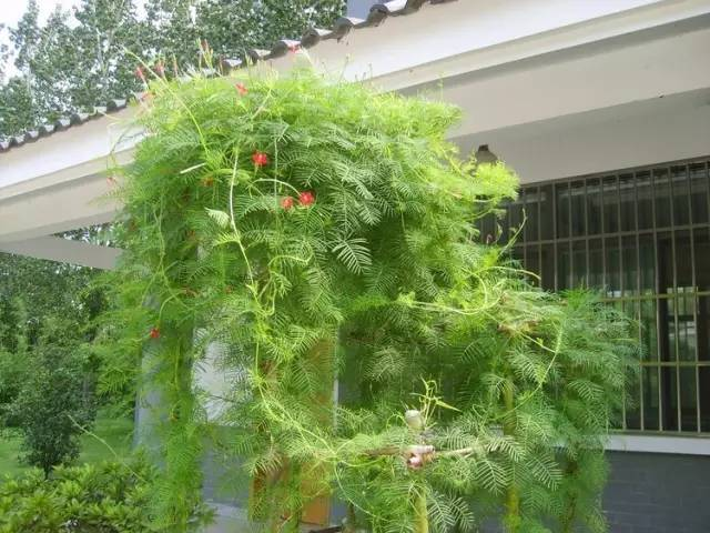 十八种藤本植物大集合~-028.jpg
