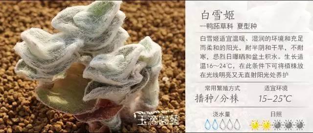 一入肉界深似海,100种常见多肉植物养护宝典_53