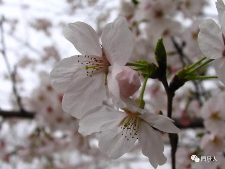 灵气之源·中式庭院主景树一览_12