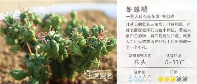 一入肉界深似海,100种常见多肉植物养护宝典_77