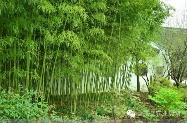 夏日竹韵——浅析竹子在景观设计中的应用_7