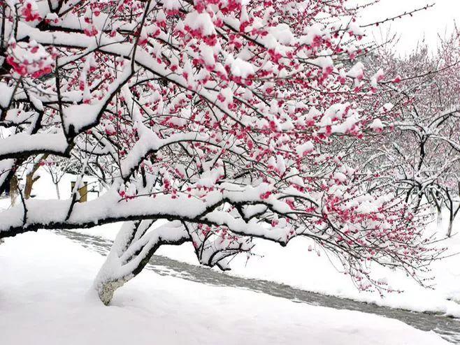 暗香疏影,踏雪寻梅,太美了!_19