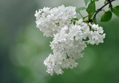 香花植物-嗅觉盛宴_5