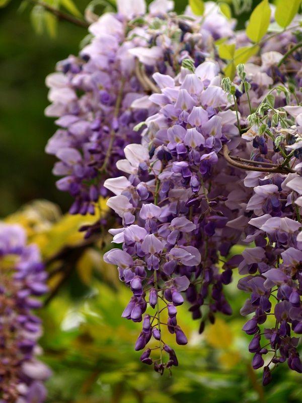 四季中,让人嗅到醉的植物-紫藤3.jpg