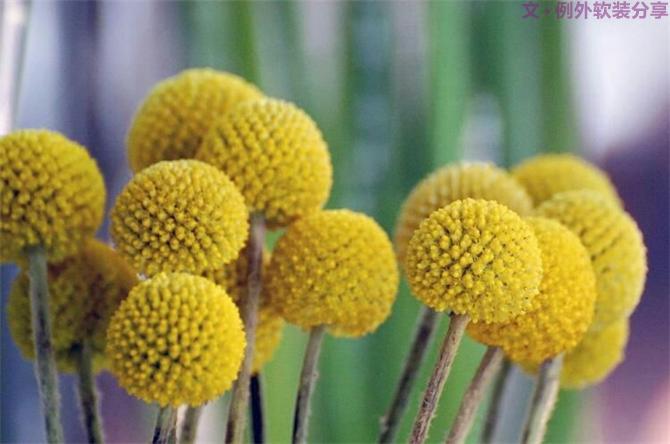 【例外.花笺记】金槌花,敲打在心间的小鼓槌!_2